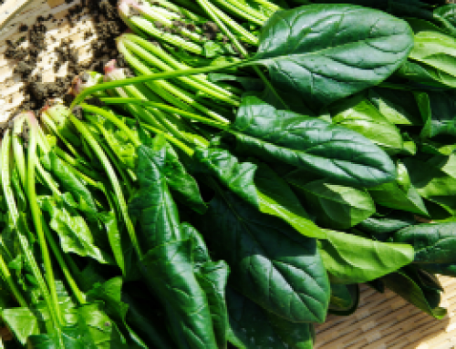 An anchored chromosome-scale genome assembly of spinach improves annotation and reveals extensive gene rearrangements in euasterids