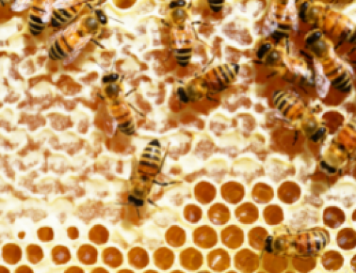 A salivary chitinase of Varroa destructor influences host immunity and mite's survival